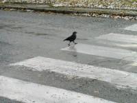 Výsledné chování kafky na přechodu pro chodce