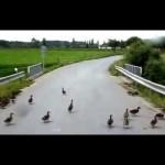 Kachny přes cestu